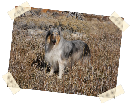 Collie Photo